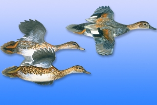 Gadwall