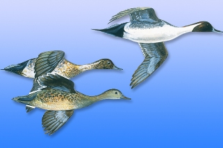 Pintail