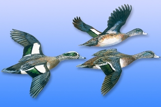 Wigeon