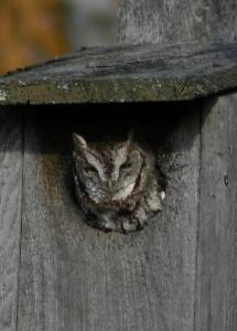 E. Screech Owl