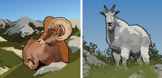 Bighorn/MountainGoat