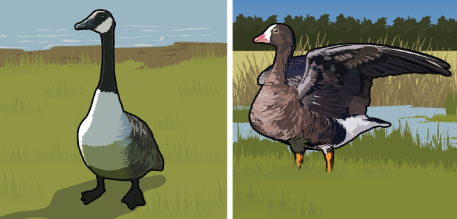 Canada and White Fronted Geese