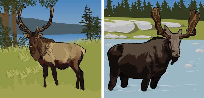 Elk/Moose