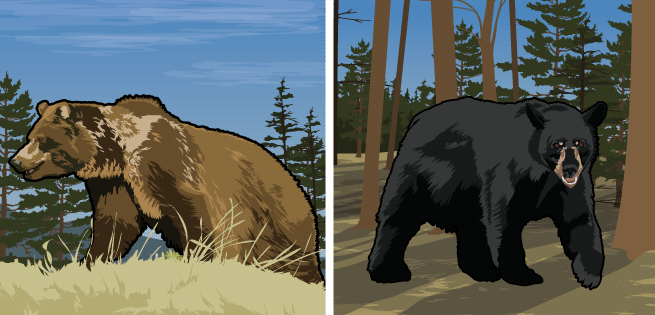 Grizzly/Black Bears