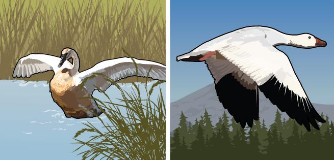 Goose/Swan
